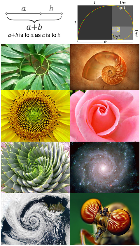 The golden ratio in nature
